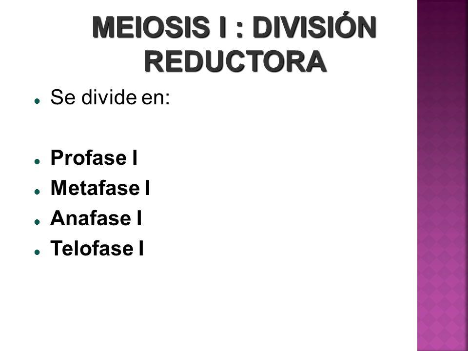 MEIOSIS I : DIVISIÓN REDUCTORA