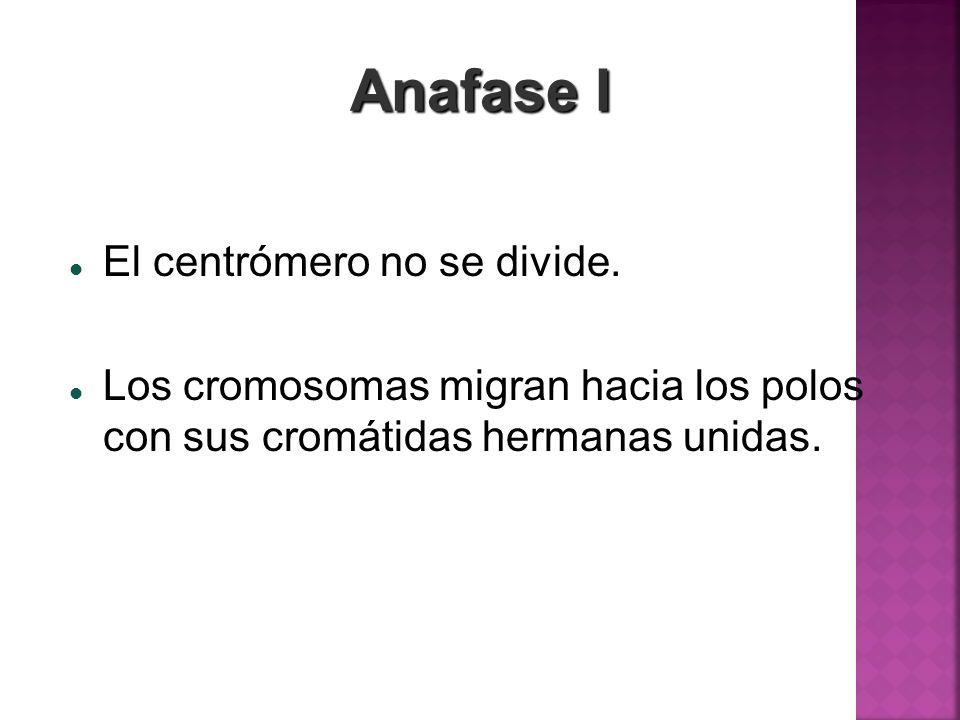 Anafase I El centrómero no se divide.