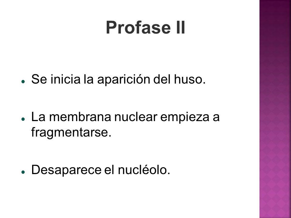 Profase II Se inicia la aparición del huso.
