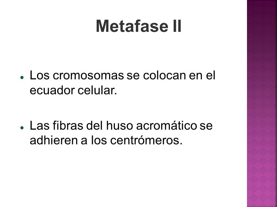 Metafase II Los cromosomas se colocan en el ecuador celular.