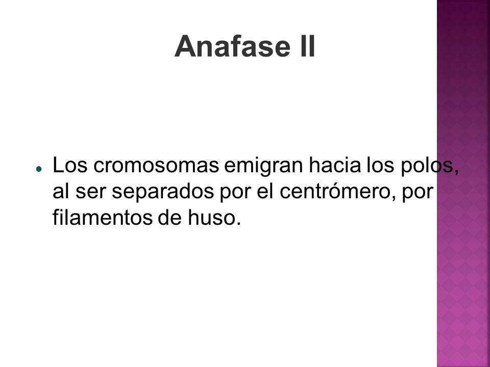 Anafase II Los cromosomas emigran hacia los polos, al ser separados por el centrómero, por filamentos de huso.