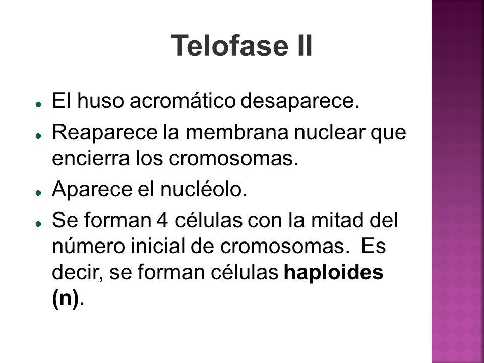 Telofase II El huso acromático desaparece.