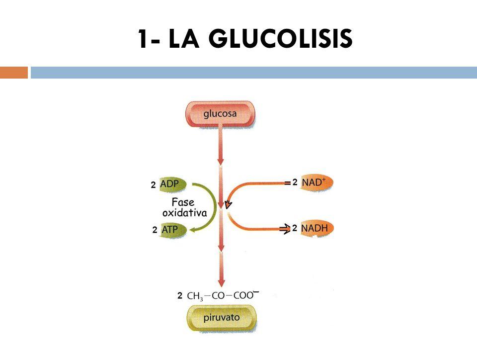 1- LA GLUCOLISIS