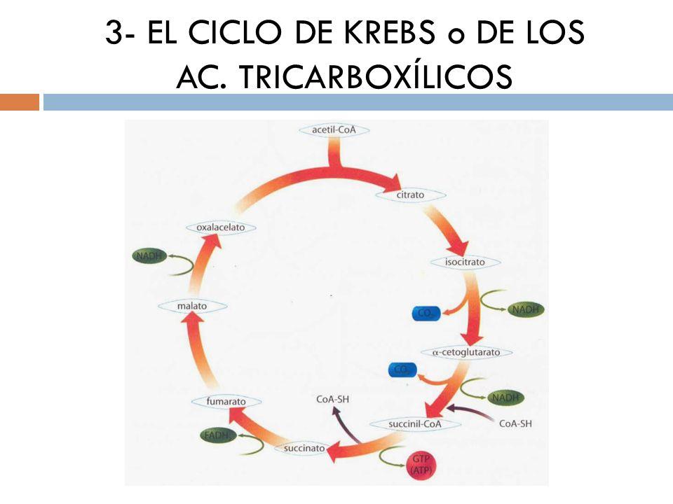 3- EL CICLO DE KREBS o DE LOS AC. TRICARBOXÍLICOS