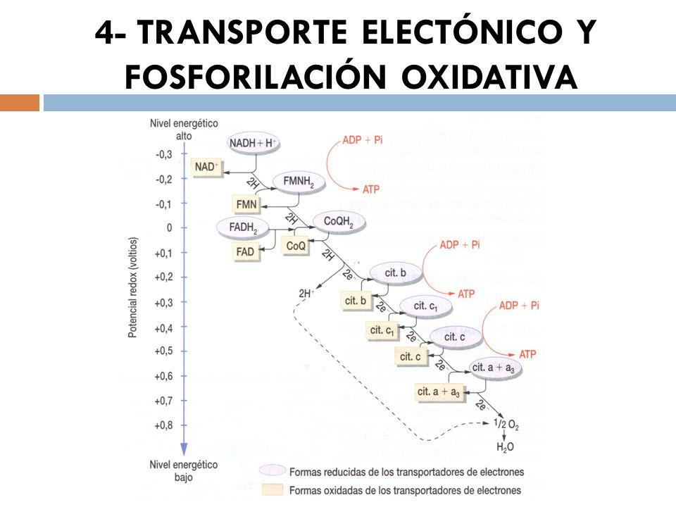 4- TRANSPORTE ELECTÓNICO Y FOSFORILACIÓN OXIDATIVA