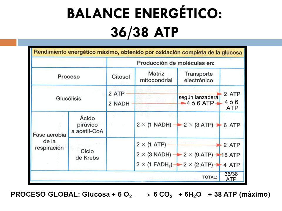 BALANCE ENERGÉTICO: 36/38 ATP