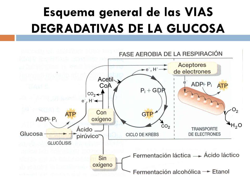 Esquema general de las VIAS DEGRADATIVAS DE LA GLUCOSA