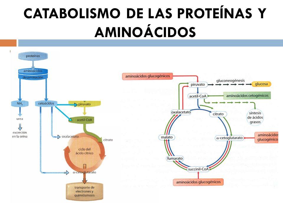 CATABOLISMO DE LAS PROTEÍNAS Y AMINOÁCIDOS