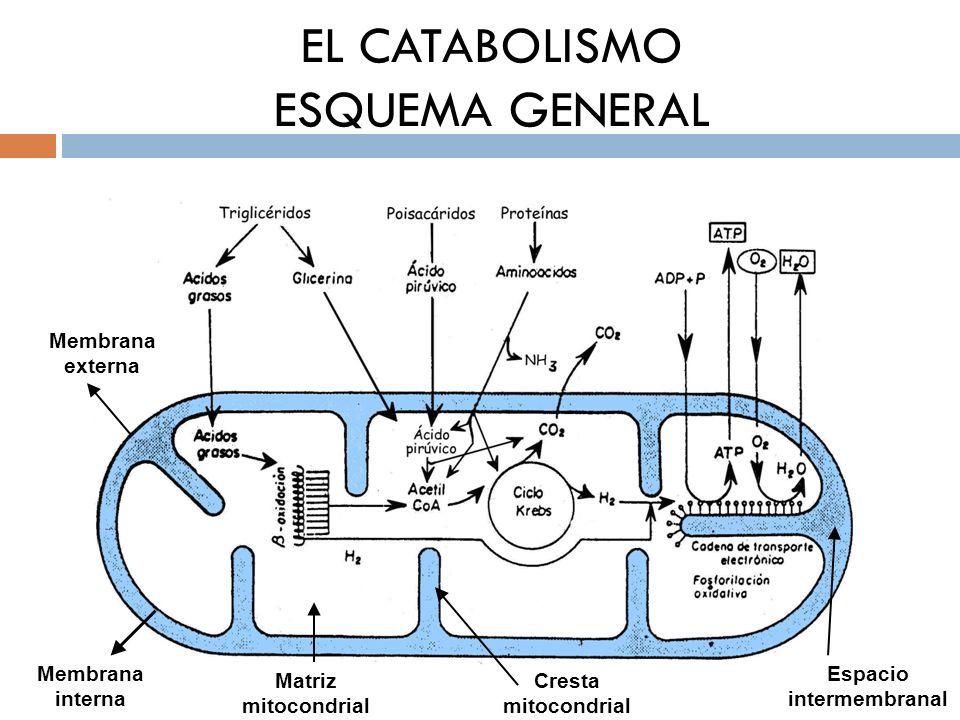 EL CATABOLISMO ESQUEMA GENERAL