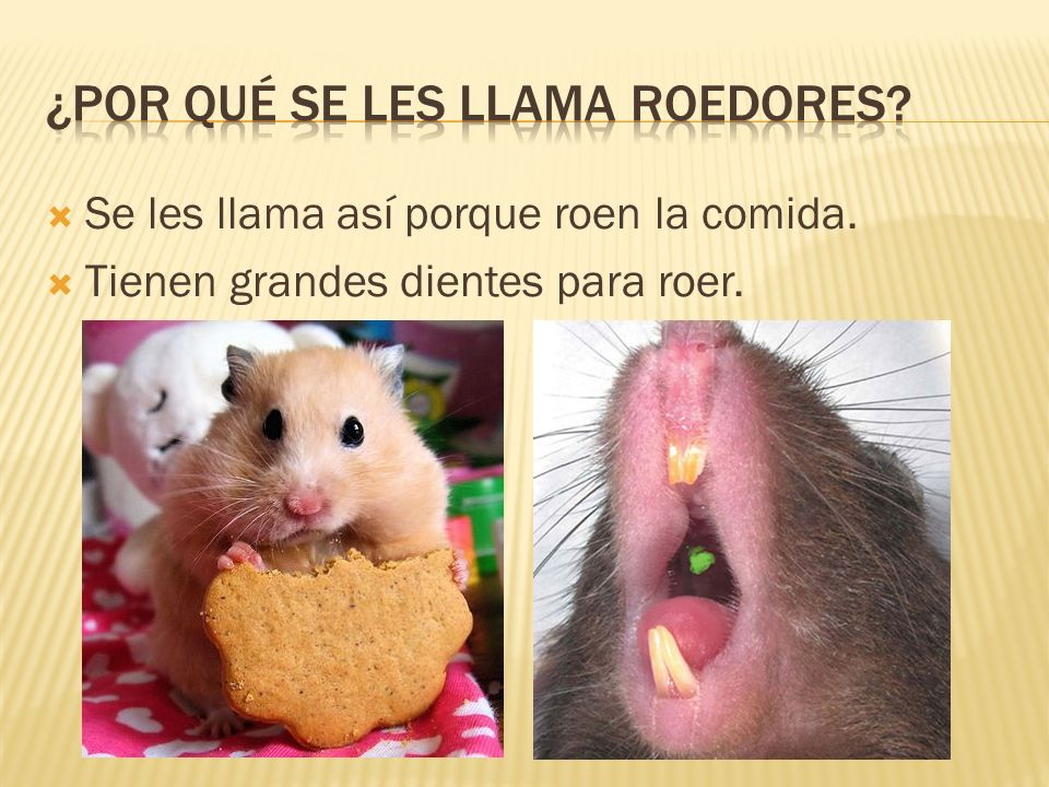 ¿Por qué se les llama roedores