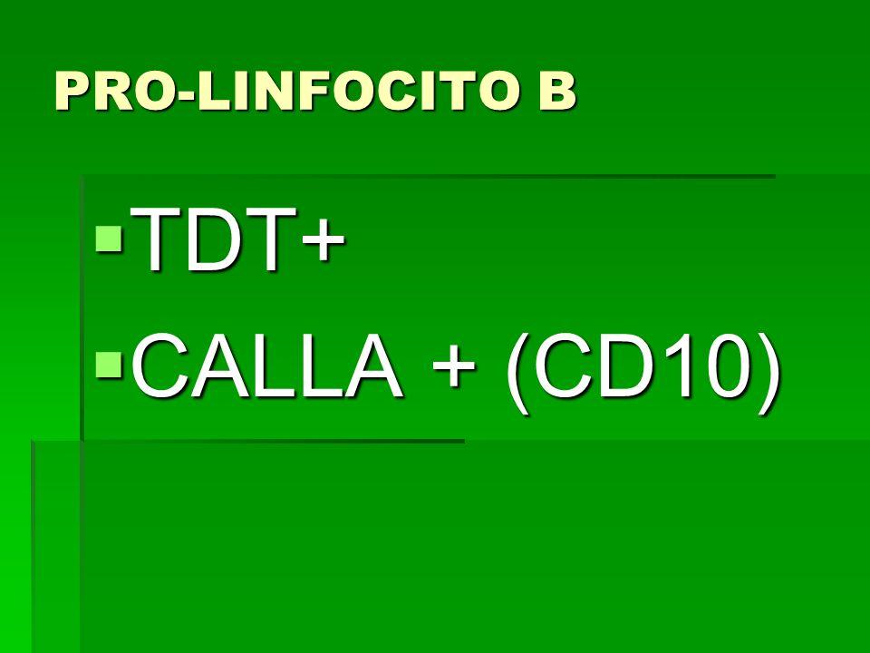 PRO-LINFOCITO B TDT+ CALLA + (CD10)
