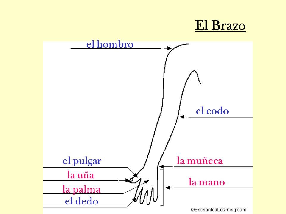 El Brazo el hombro el codo el pulgar la muñeca la uña la mano la palma