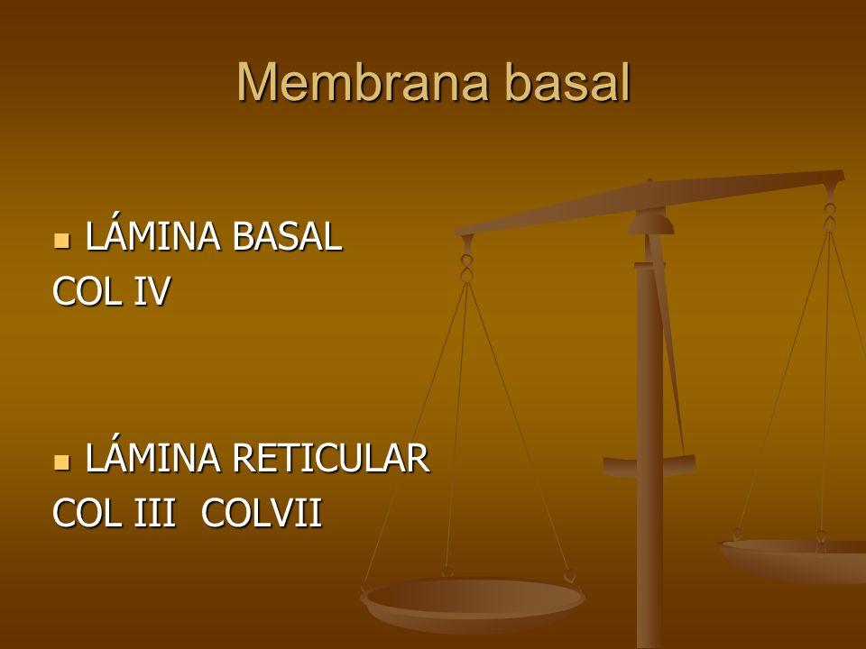 Membrana basal LÁMINA BASAL COL IV LÁMINA RETICULAR COL III COLVII