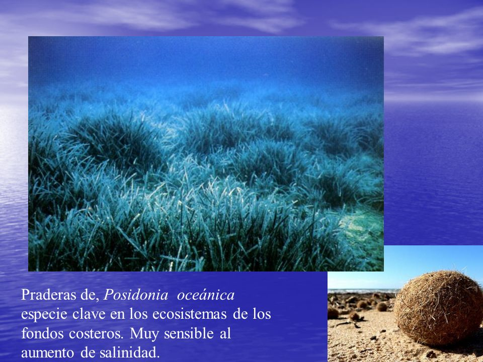 Praderas de, Posidonia oceánica especie clave en los ecosistemas de los fondos costeros. Muy sensible al aumento de salinidad.