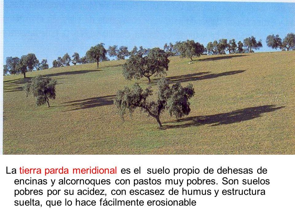 La tierra parda meridional es el suelo propio de dehesas de encinas y alcornoques con pastos muy pobres.