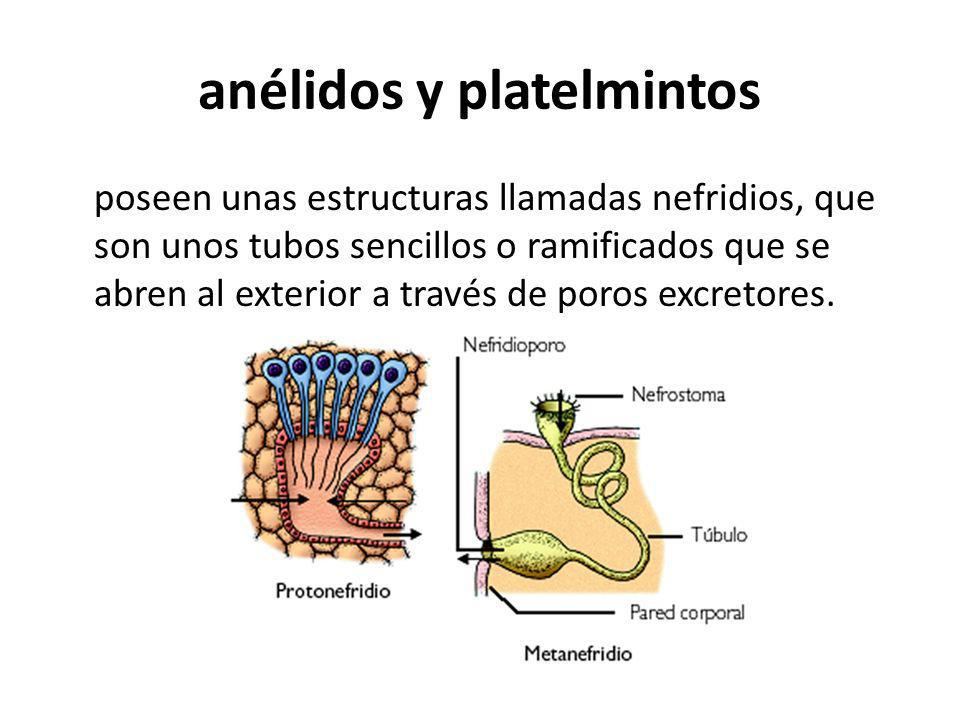anélidos y platelmintos