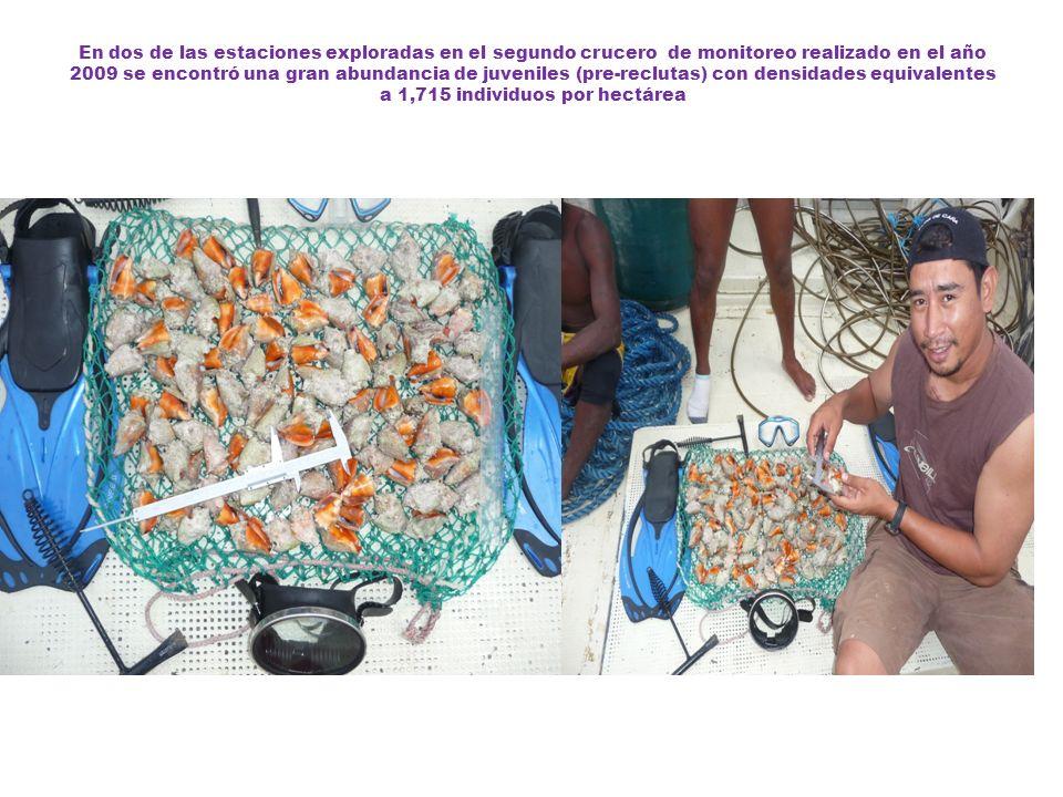En dos de las estaciones exploradas en el segundo crucero de monitoreo realizado en el año 2009 se encontró una gran abundancia de juveniles (pre-reclutas) con densidades equivalentes a 1,715 individuos por hectárea