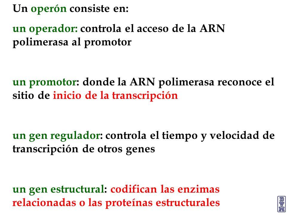 Un operón consiste en: un operador: controla el acceso de la ARN polimerasa al promotor.