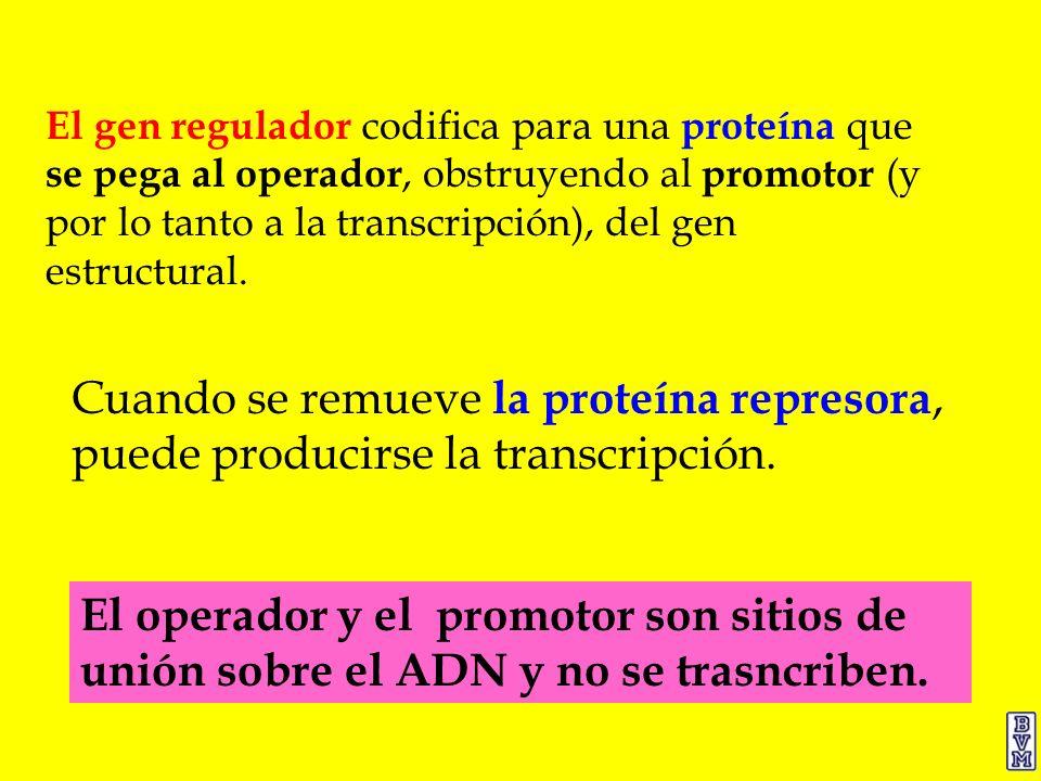 El gen regulador codifica para una proteína que se pega al operador, obstruyendo al promotor (y por lo tanto a la transcripción), del gen estructural.