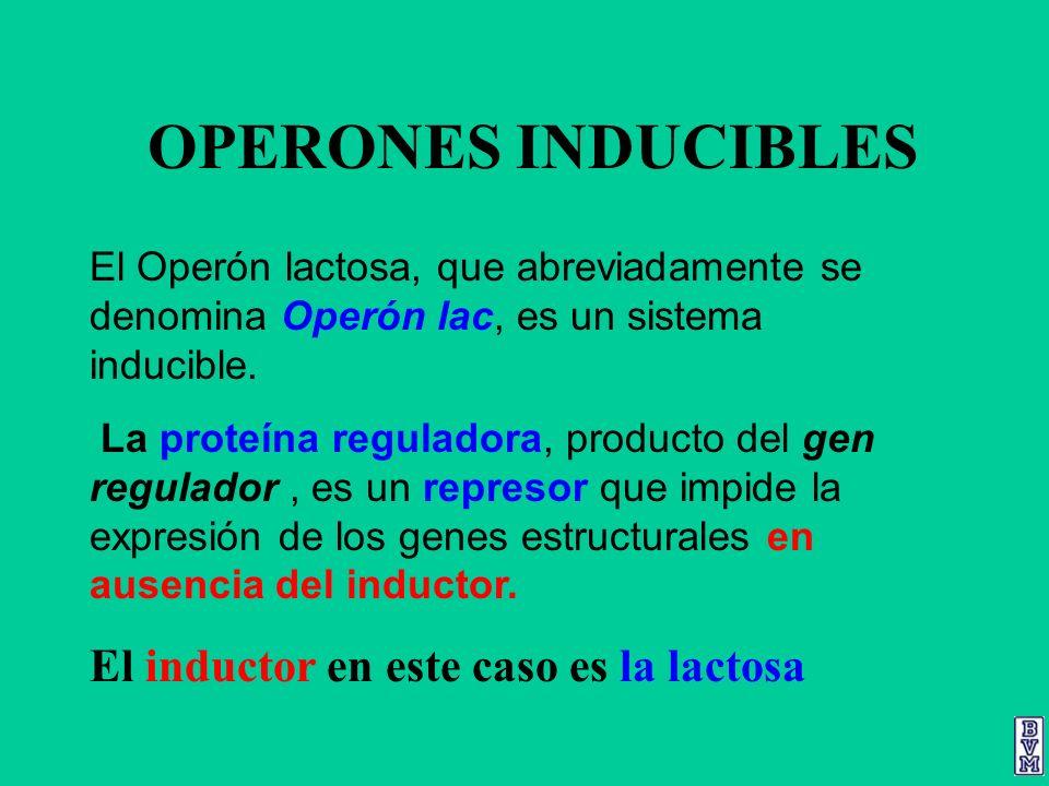 OPERONES INDUCIBLES El inductor en este caso es la lactosa