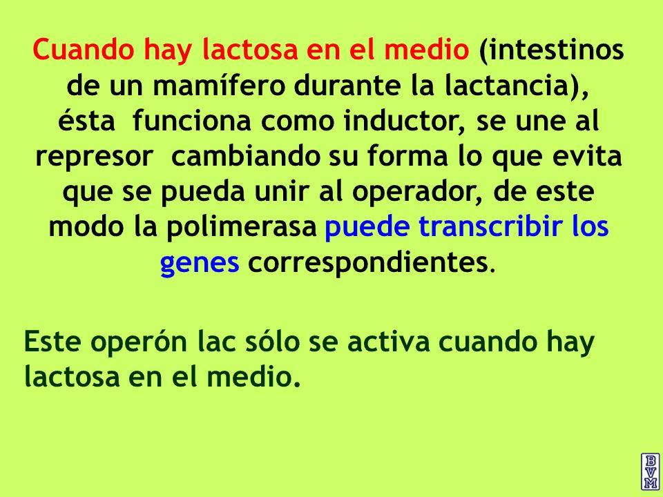 Cuando hay lactosa en el medio (intestinos de un mamífero durante la lactancia), ésta funciona como inductor, se une al represor cambiando su forma lo que evita que se pueda unir al operador, de este modo la polimerasa puede transcribir los genes correspondientes.