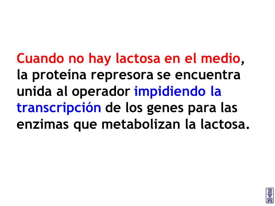 Cuando no hay lactosa en el medio, la proteína represora se encuentra unida al operador impidiendo la transcripción de los genes para las enzimas que metabolizan la lactosa.