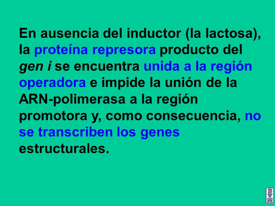 En ausencia del inductor (la lactosa), la proteína represora producto del gen i se encuentra unida a la región operadora e impide la unión de la ARN-polimerasa a la región promotora y, como consecuencia, no se transcriben los genes estructurales.