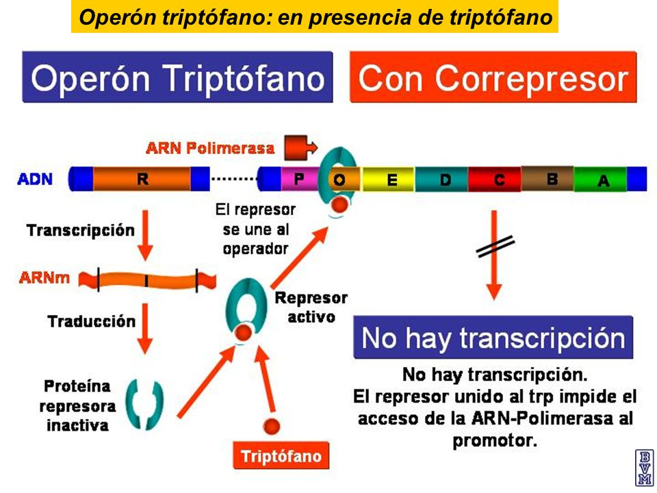 Operón triptófano: en presencia de triptófano