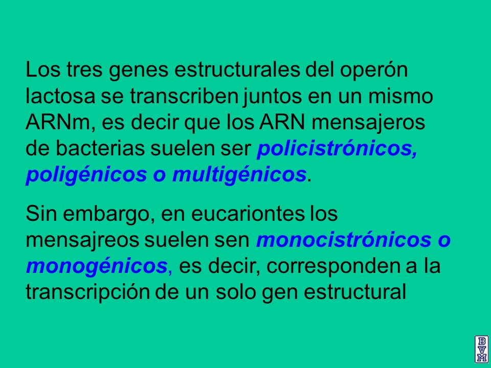 Los tres genes estructurales del operón lactosa se transcriben juntos en un mismo ARNm, es decir que los ARN mensajeros de bacterias suelen ser policistrónicos, poligénicos o multigénicos.