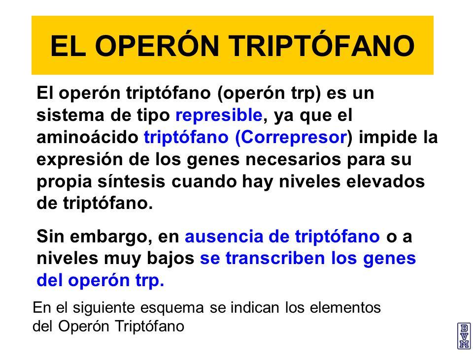 EL OPERÓN TRIPTÓFANO