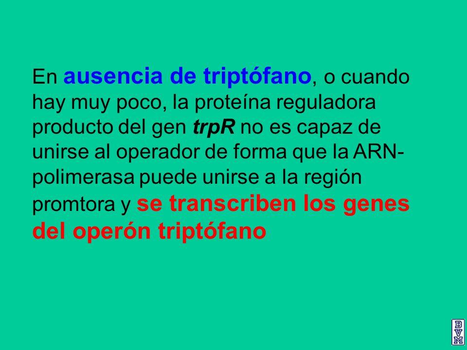 En ausencia de triptófano, o cuando hay muy poco, la proteína reguladora producto del gen trpR no es capaz de unirse al operador de forma que la ARN-polimerasa puede unirse a la región promtora y se transcriben los genes del operón triptófano