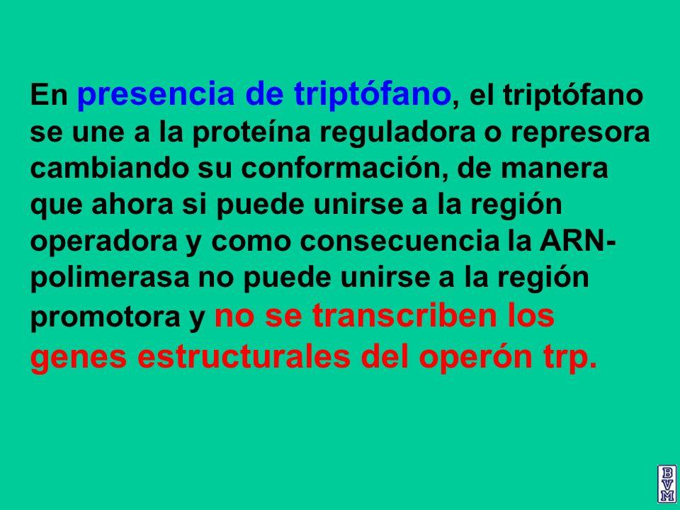 En presencia de triptófano, el triptófano se une a la proteína reguladora o represora cambiando su conformación, de manera que ahora si puede unirse a la región operadora y como consecuencia la ARN-polimerasa no puede unirse a la región promotora y no se transcriben los genes estructurales del operón trp.