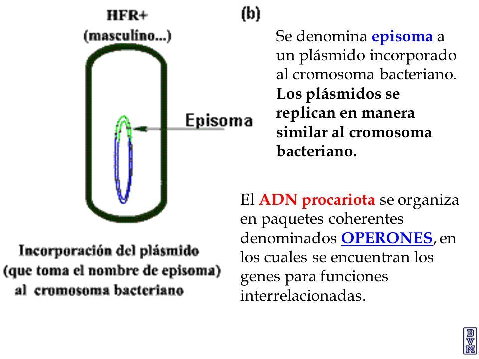 Se denomina episoma a un plásmido incorporado al cromosoma bacteriano