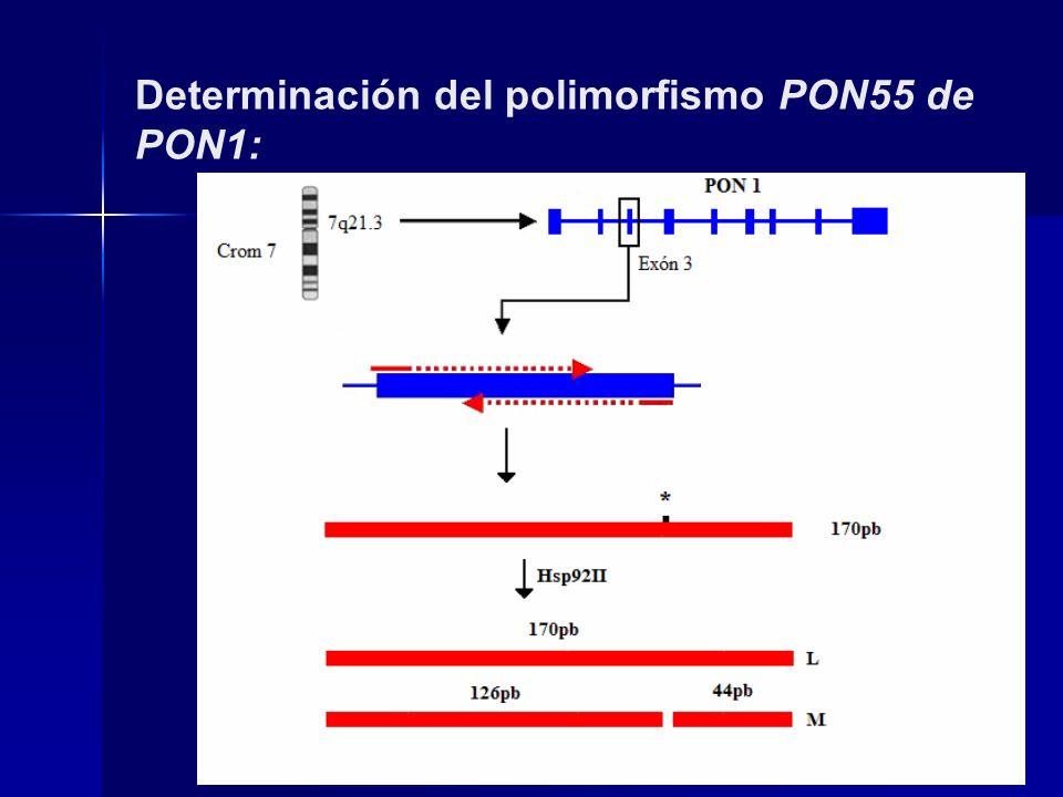 Determinación del polimorfismo PON55 de PON1: