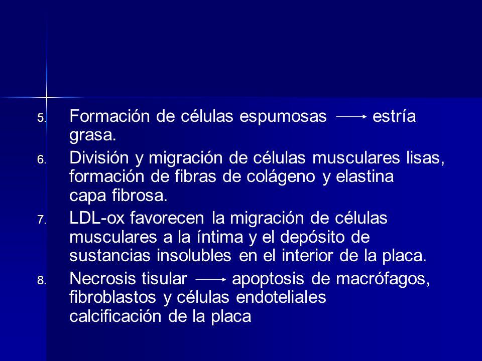 Formación de células espumosas estría grasa.