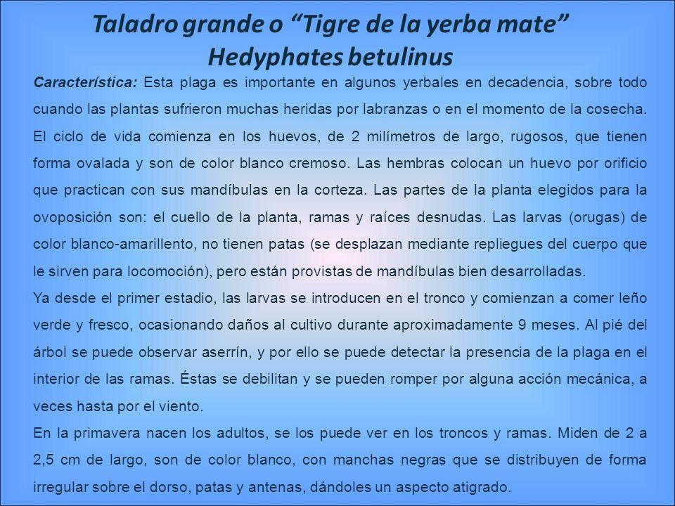 Taladro grande o Tigre de la yerba mate Hedyphates betulinus