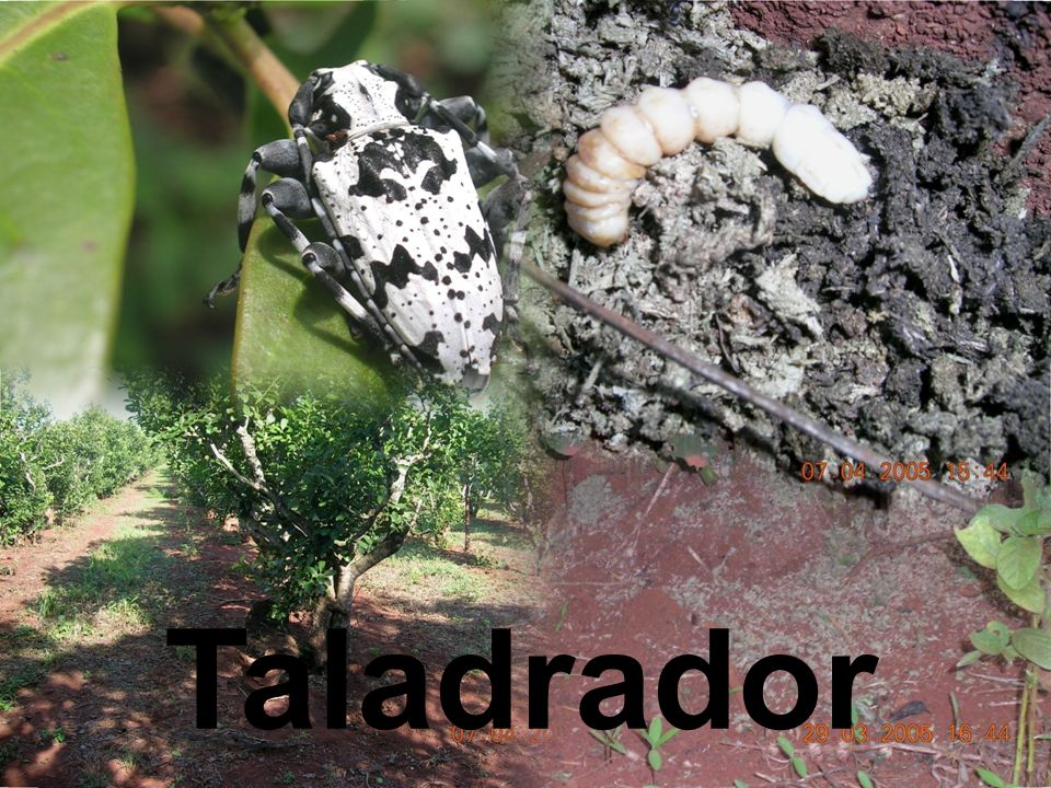 Taladrador