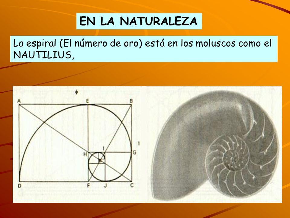 EN LA NATURALEZA La espiral (El número de oro) está en los moluscos como el NAUTILIUS,
