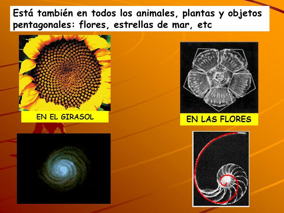 Está también en todos los animales, plantas y objetos pentagonales: flores, estrellas de mar, etc