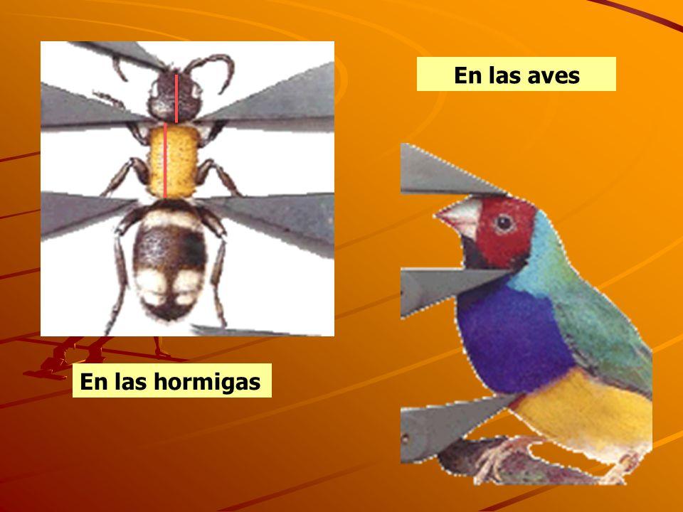 En las aves En las hormigas