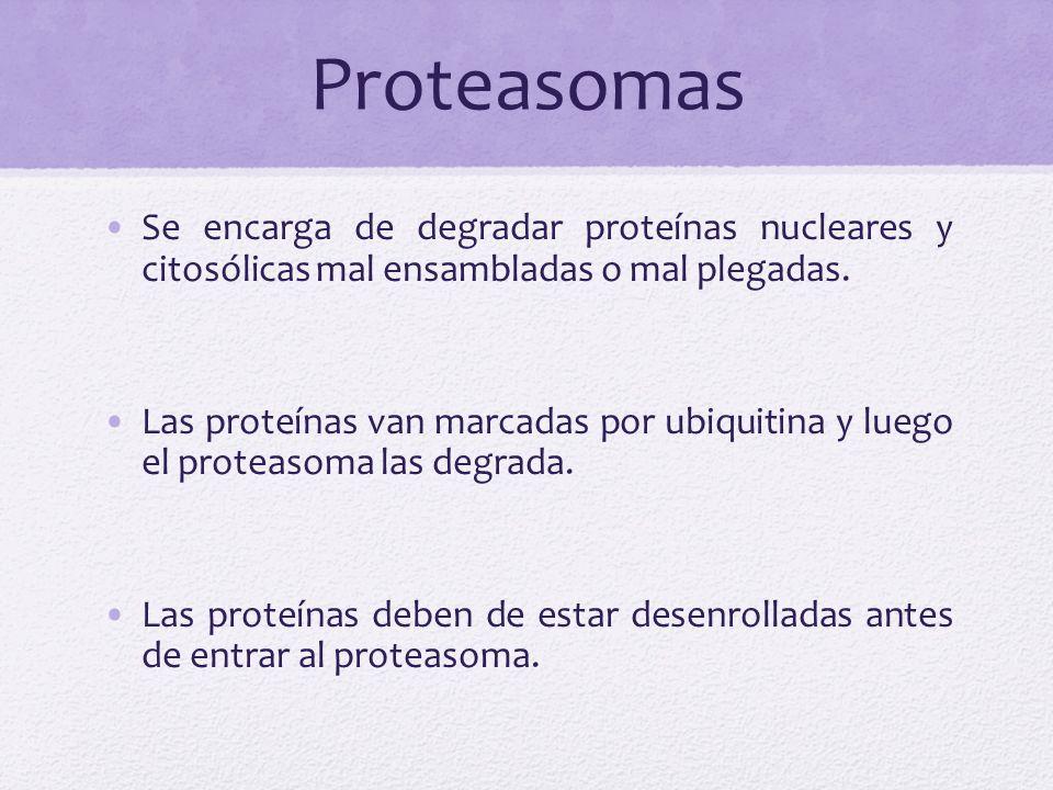 ProteasomasSe encarga de degradar proteínas nucleares y citosólicas mal ensambladas o mal plegadas.