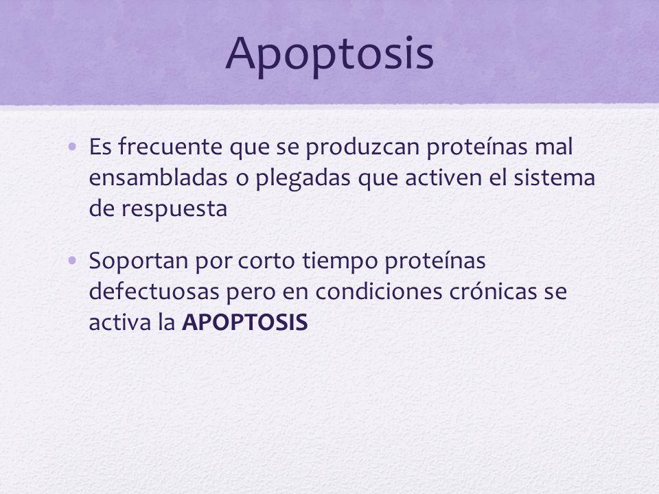 Apoptosis Es frecuente que se produzcan proteínas mal ensambladas o plegadas que activen el sistema de respuesta.
