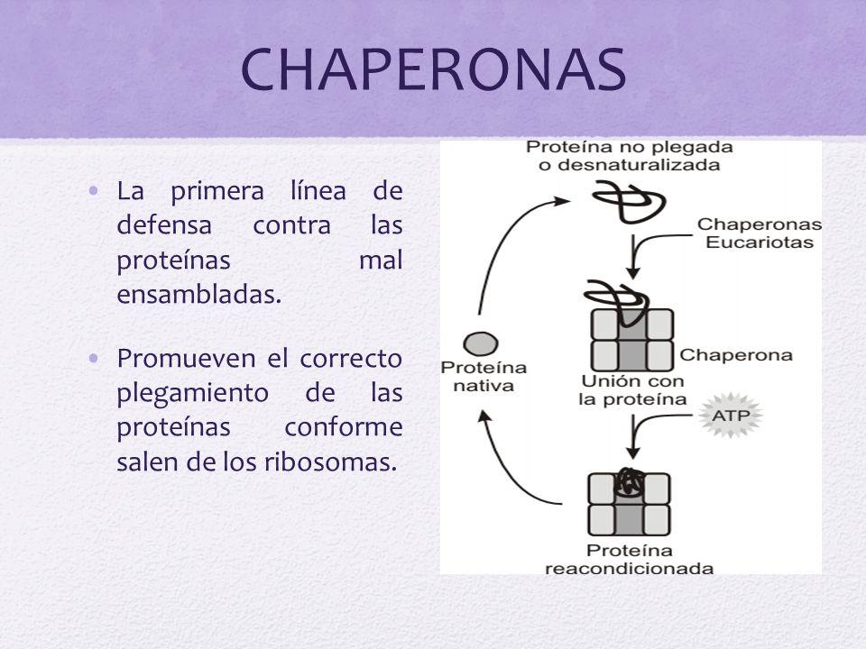 CHAPERONAS La primera línea de defensa contra las proteínas mal ensambladas.