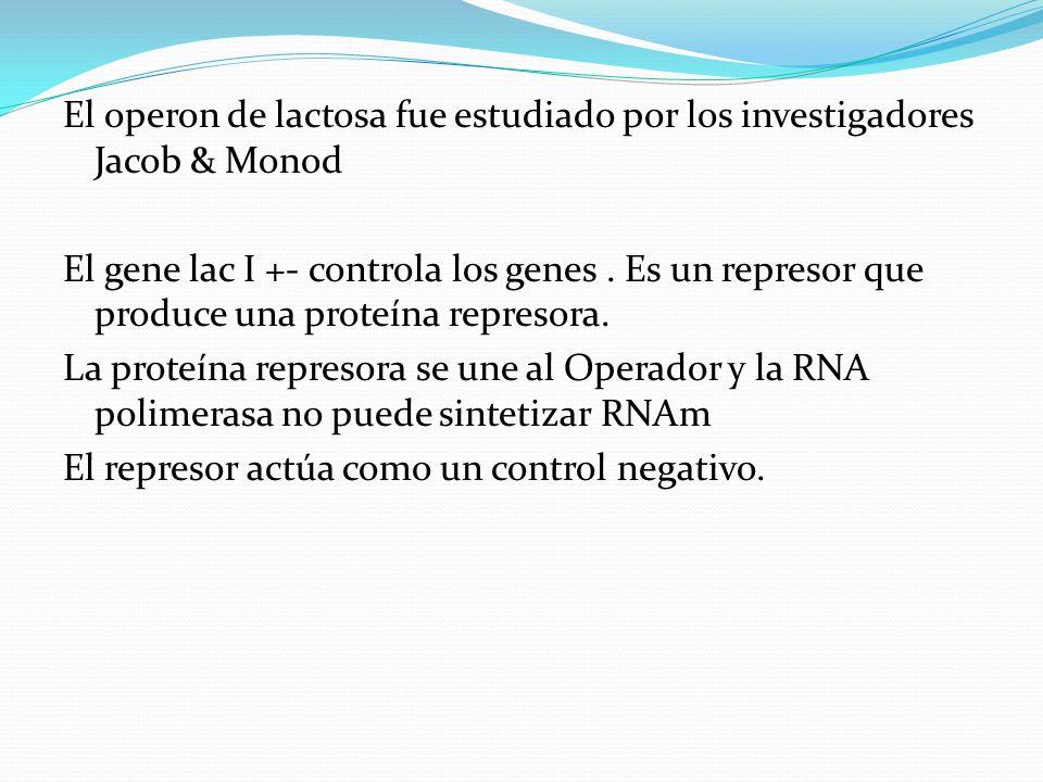 El operon de lactosa fue estudiado por los investigadores Jacob & Monod El gene lac I +- controla los genes .