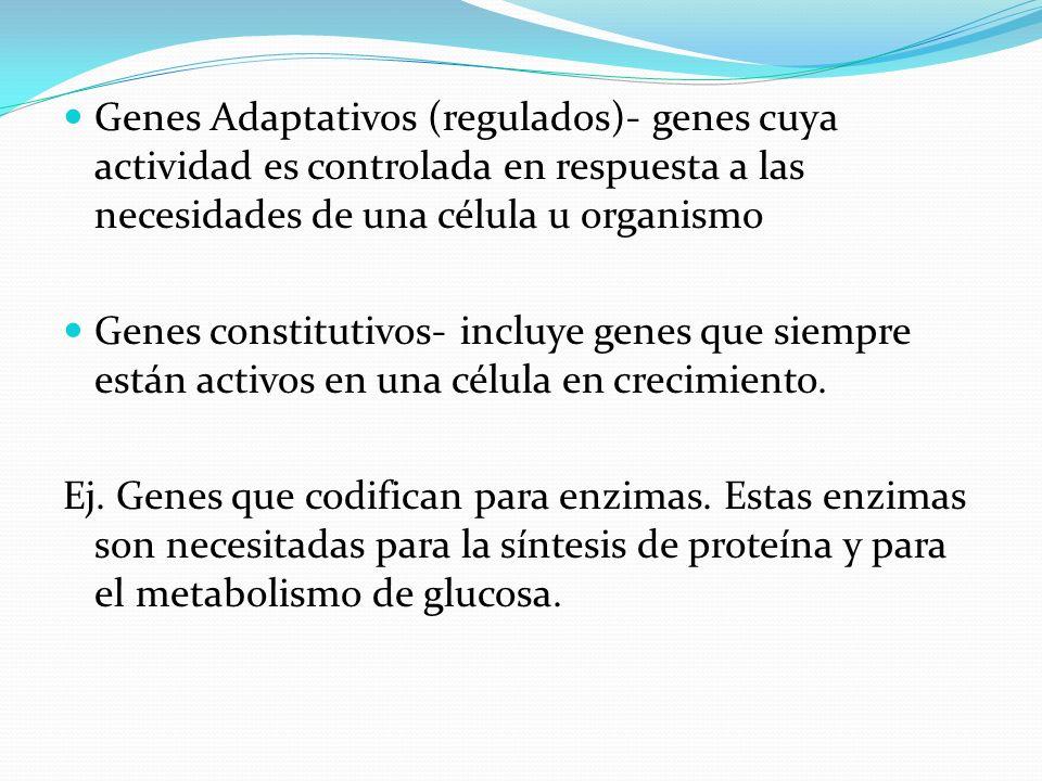 Genes Adaptativos (regulados)- genes cuya actividad es controlada en respuesta a las necesidades de una célula u organismo