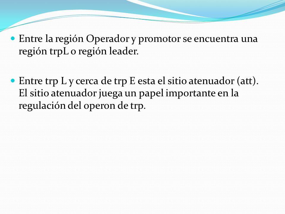 Entre la región Operador y promotor se encuentra una región trpL o región leader.