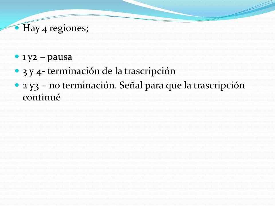 Hay 4 regiones;1 y2 – pausa.3 y 4- terminación de la trascripción.