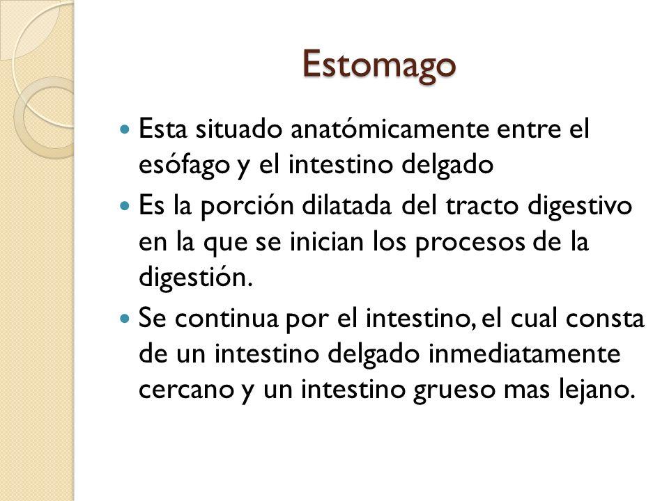 Estomago Esta situado anatómicamente entre el esófago y el intestino delgado.