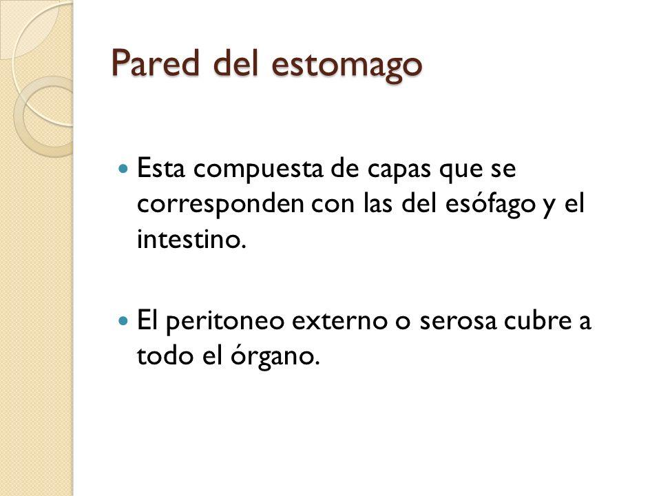 Pared del estomago Esta compuesta de capas que se corresponden con las del esófago y el intestino.