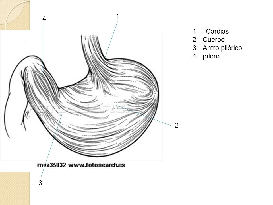 1 4 1 Cardias Cuerpo Antro pilórico píloro 2 3